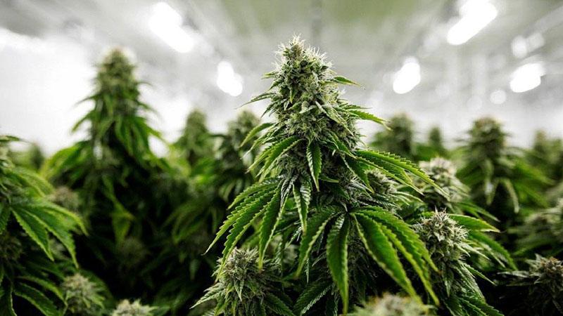 En France et en Europe, la production, la commercialisation et la consommation de CBD sont autorisées par la loi, contrairement au THC, strictement interdit en dehors d'usages médicaux encadrés.